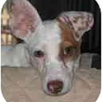 Adopt A Pet :: Dougal - Jacksonville, FL