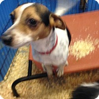Adopt A Pet :: EDDIE terrier - Pompton lakes, NJ