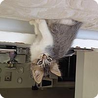 Adopt A Pet :: Primrose - Santa Rosa, CA