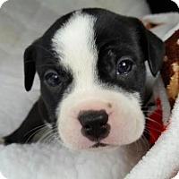 Adopt A Pet :: Marni - Manhattan, NY