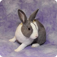 Adopt A Pet :: Rocky - Chesterfield, MO