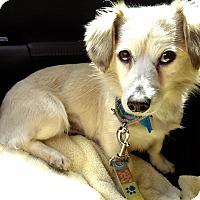 Adopt A Pet :: Lillybelle - Marina del Rey, CA