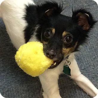 Terrier (Unknown Type, Small)/Chihuahua Mix Dog for adoption in Fenton, Missouri - Riley
