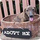 Adopt A Pet :: Curly