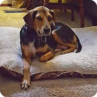 Hound (Unknown Type)/Shepherd (Unknown Type) Mix Dog for adoption in Columbia, Illinois - Olga