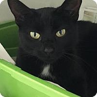 Domestic Shorthair Cat for adoption in Manteo, North Carolina - Lady Hawthorne