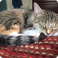 Domestic Shorthair Cat for adoption in Libertyville, Illinois - Samantha