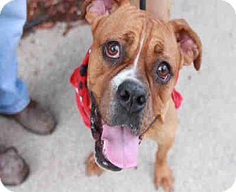 Boxer Mix Dog for adoption in Chicago Ridge, Illinois - JOJO