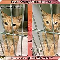 Adopt A Pet :: ORANGE KITTEN - Kenansville, NC