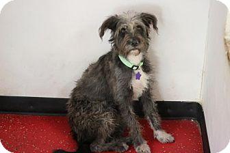 Wheaten Terrier/Standard Schnauzer Mix Dog for adoption in Phoenix, Arizona - Bridget