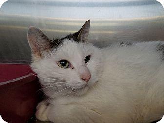 Domestic Mediumhair Cat for adoption in Elyria, Ohio - Mishka