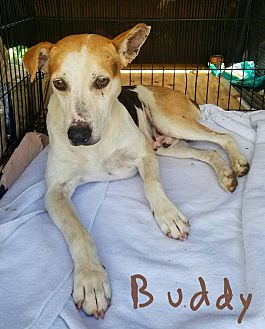 Rat Terrier/Mountain Cur Mix Dog for adoption in Lawrenceburg, Tennessee - Buddy