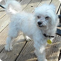 Adopt A Pet :: Captain McFluff - Sheridan, IL
