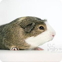 Guinea Pig for adoption in Reisterstown, Maryland - Drake