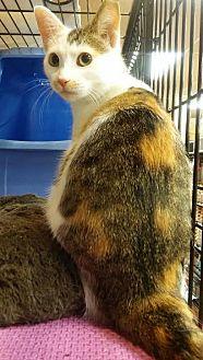 Domestic Shorthair Cat for adoption in Glen Mills, Pennsylvania - Skye