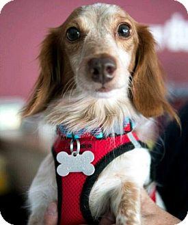 Dachshund Dog for adoption in Los Angeles, California - Dusty
