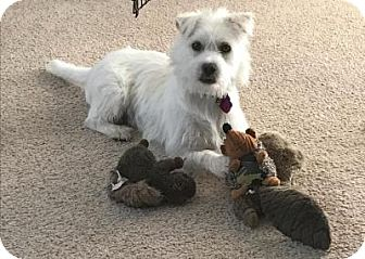 Terrier (Unknown Type, Small) Mix Dog for adoption in Manhattan, Kansas - Chance