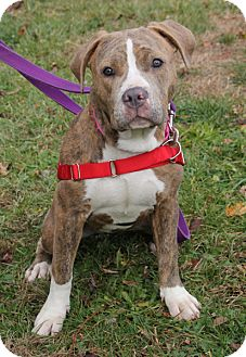 Pit Bull Terrier Mix Dog for adoption in Harrison, New York - Louise