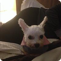 Adopt A Pet :: Briana - Thousand Oaks, CA