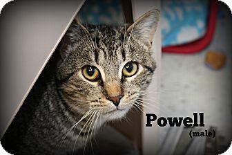 Domestic Shorthair Cat for adoption in Glen Mills, Pennsylvania - Powell