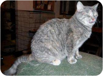 Domestic Shorthair Cat for adoption in Cypress, Texas - Lilo