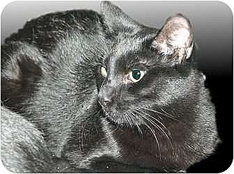 Domestic Shorthair Cat for adoption in Montgomery, Illinois - Finn