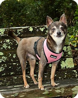 Chihuahua Mix Dog for adoption in Sherman, Connecticut - Kirby