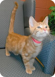 Domestic Shorthair Kitten for adoption in Jackson, Michigan - Pumba