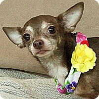 Chihuahua Dog for adoption in Wichita Falls, Texas - Luanne