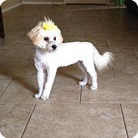 Adopt A Pet :: PENELOPE - Higley, AZ