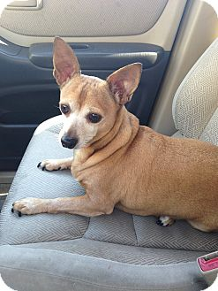 Chihuahua Mix Dog for adoption in Emory, Texas - Toby