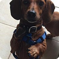 Adopt A Pet :: Buddy Bob Long Dog - Marcellus, MI