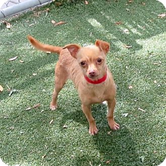 Chihuahua/Terrier (Unknown Type, Medium) Mix Dog for adoption in Vacaville, California - Nugget