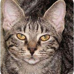 Photo 1 - Domestic Shorthair Cat for adoption in Milford, Ohio - Bitsy