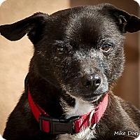 Adopt A Pet :: Scooby Doo - Westminster, CA