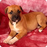 Adopt A Pet :: Tanner Labmix - St. Louis, MO