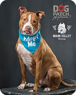 Pit Bull Terrier/American Pit Bull Terrier Mix Dog for adoption in Dayton, Ohio - Curie