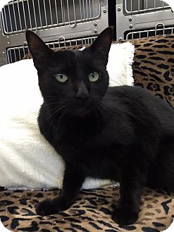 Domestic Shorthair Cat for adoption in Maryville, Missouri - Pepper