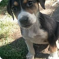 Adopt A Pet :: Bailey - Ogden, UT