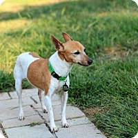 Rat Terrier Mix Dog for adoption in Morganville, New Jersey - BeBe