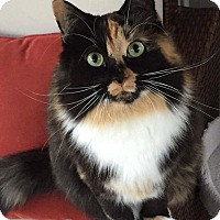 Calico Cat for adoption in Tega Cay, South Carolina - Zoe