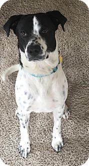 Australian Cattle Dog/Blue Heeler Mix Dog for adoption in San Antonio, Texas - Milo