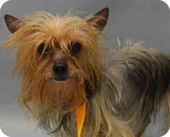 Yorkie, Yorkshire Terrier Mix Dog for adoption in Bernardston, Massachusetts - Gypsy
