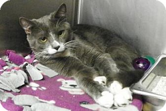 Domestic Shorthair Kitten for adoption in Lowell, Massachusetts - Dean