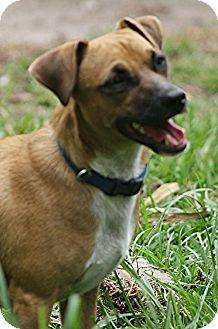 Dachshund/Chihuahua Mix Dog for adoption in Lithia, Florida - HENDRIX-16 Weeki Wachi, Fl