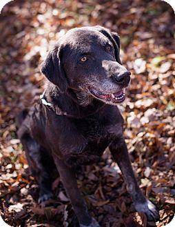 Labrador Retriever Mix Dog for adoption in Lewisville, Indiana - Bronson
