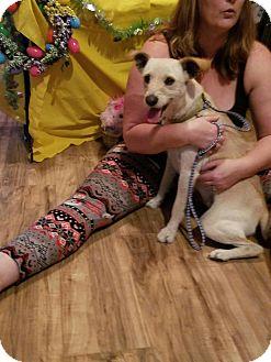 Schnauzer (Miniature)/Wirehaired Fox Terrier Mix Dog for adoption in Chiefland, Florida - Moji