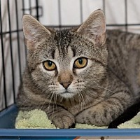 Adopt A Pet :: Munchkin: Barn Cat (FCID# 01/02/2017 - 18 TC) - Greenville, DE