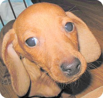 Dachshund Puppy for adoption in MINNEAPOLIS, Kansas - Alfy