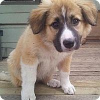 Adopt A Pet :: Shay - Saskatoon, SK